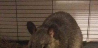 Yena - Pouched Rat