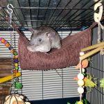 Arno the Pouched Rat