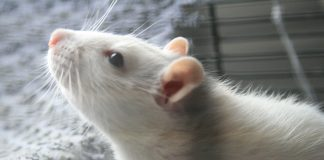 Leeloo, who inspired Lu, the main character of the book. Grey rat