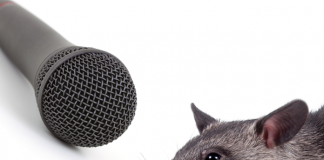 What noises does a pouched rat make?